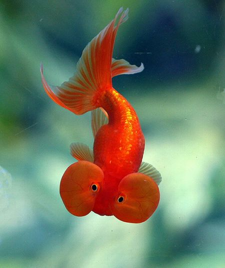 breathing patterns of a goldfish How much goldfish food for optimal goldfish care the ultimate goldfish food guide covers every aspect of feeding goldfish, from dry food to live treats.